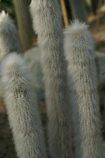 Cleistocactus de Strauss - Cleistocactus strausii
