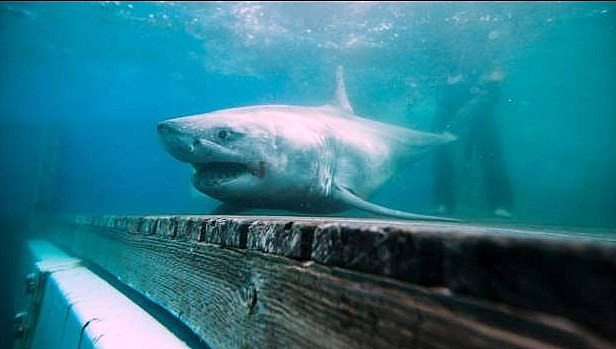 For the first time, a great white shark has been tracked on Long Island Sound.