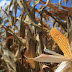 Researchers find new control method for aflatoxin