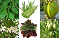 Khasiat Obat Alami Sembuhkan penyakit Sipilis Gonore Dan kencing Nanah