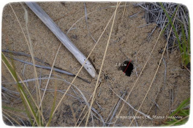 норка-тарантула