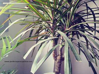 Dracena (Dracaena marginata), planta de interior