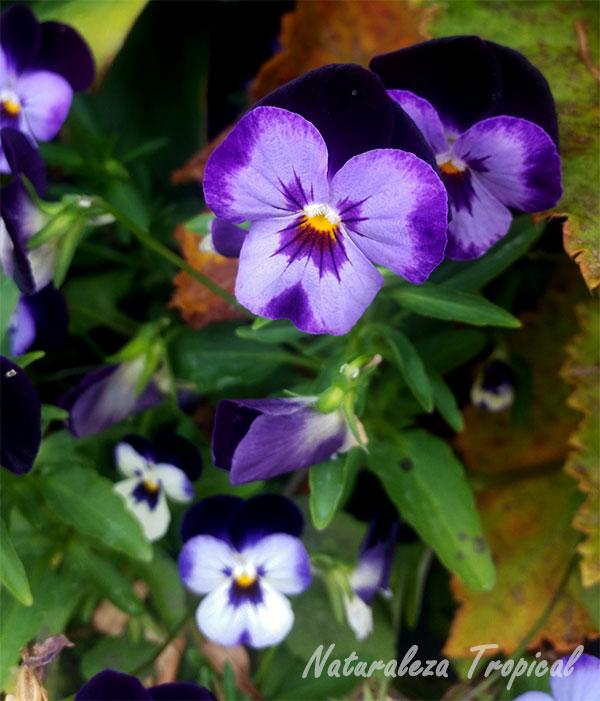 Otra variedad rosa-púrpura de la flor del Pensamiento, Viola × wittrockiana