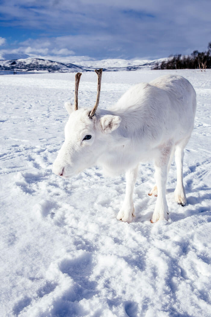 Enchanting Pictures Of Extremely Rare White Baby Reindeer In Oslo, Norway