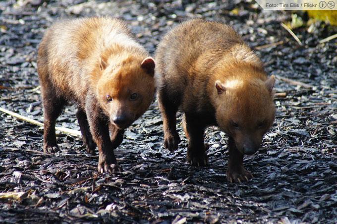 Cachorro-Vinagre   Speothos venaticus
