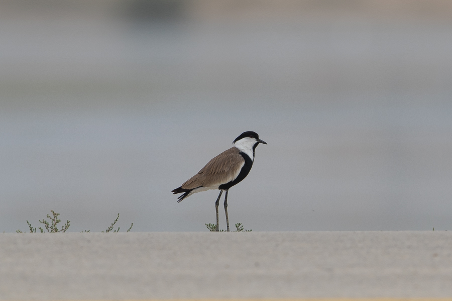 Two Spur-winged Lapwing – Jubail