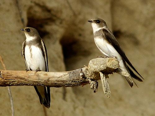 Fakta menarik tentang burung layang-Layang