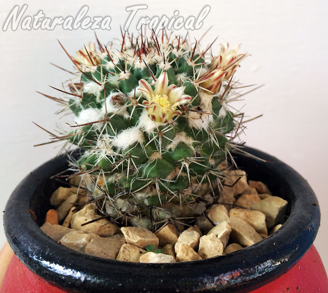 El cactus Mammillaria voburnensis