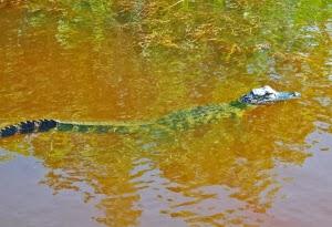 ängstlicher Alligator