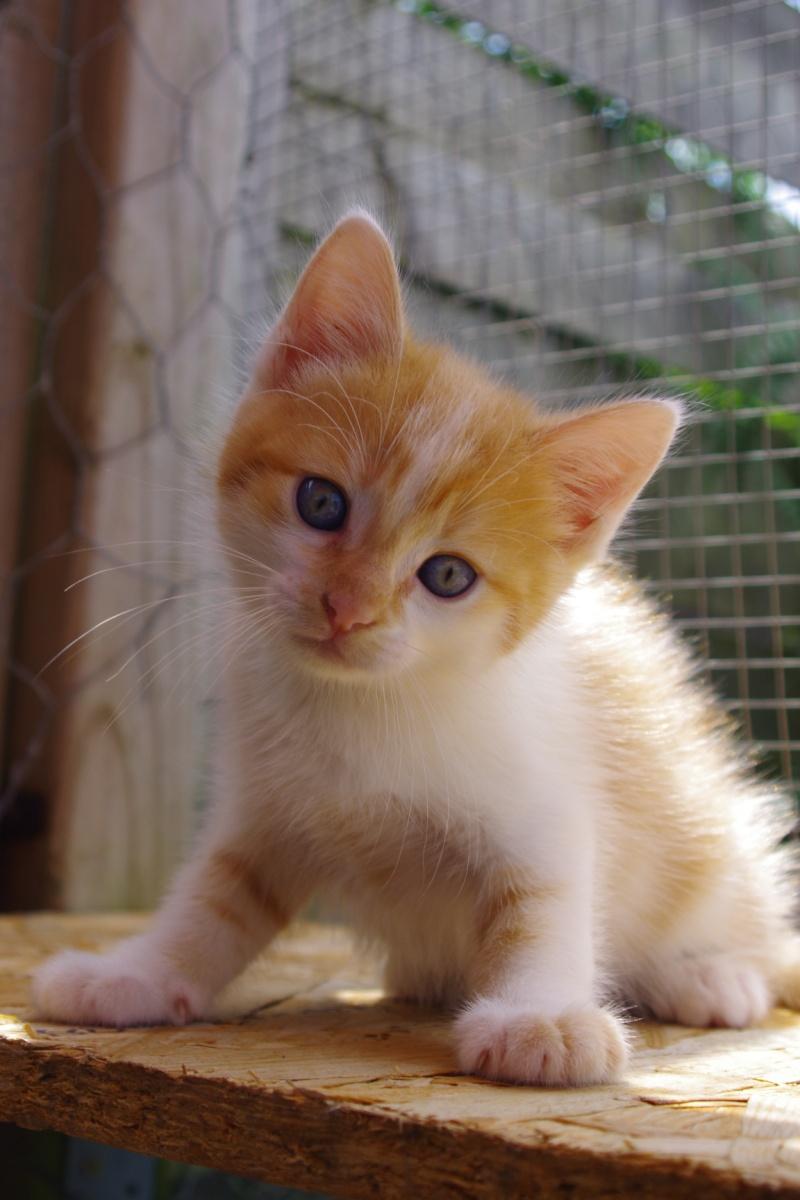 photo de chat galerie d 39 images de chatons roux. Black Bedroom Furniture Sets. Home Design Ideas