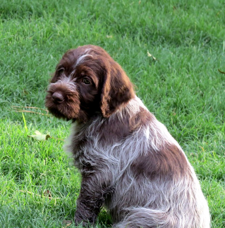 Wirehaired Pointing Griffon Puppies Wallpapers Maniac