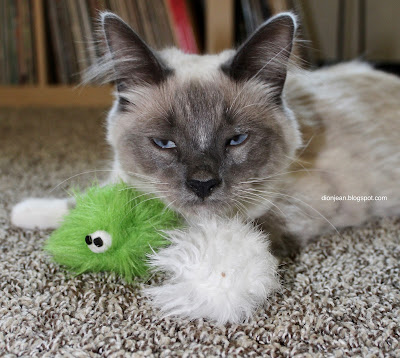 Fergus the kitten with his toys