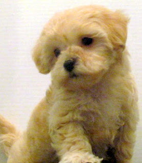 Crossbred Maltese dog puppy