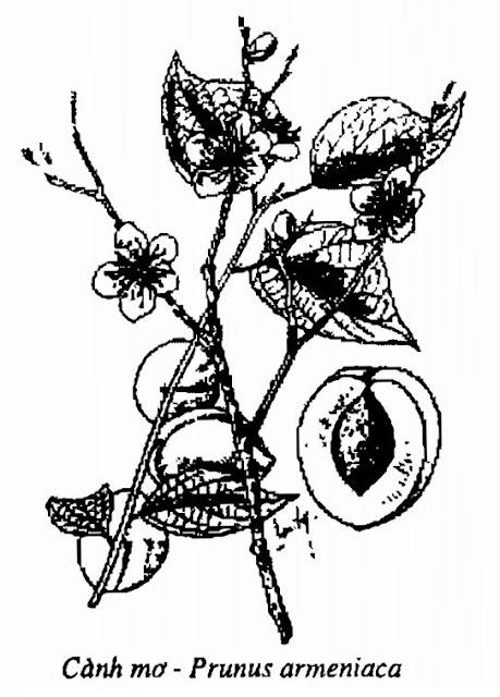 Hình vẽ cành Cây Mơ - Prunus armeniaca - Nguyên liệu làm thuốc Chữa Ho Hen