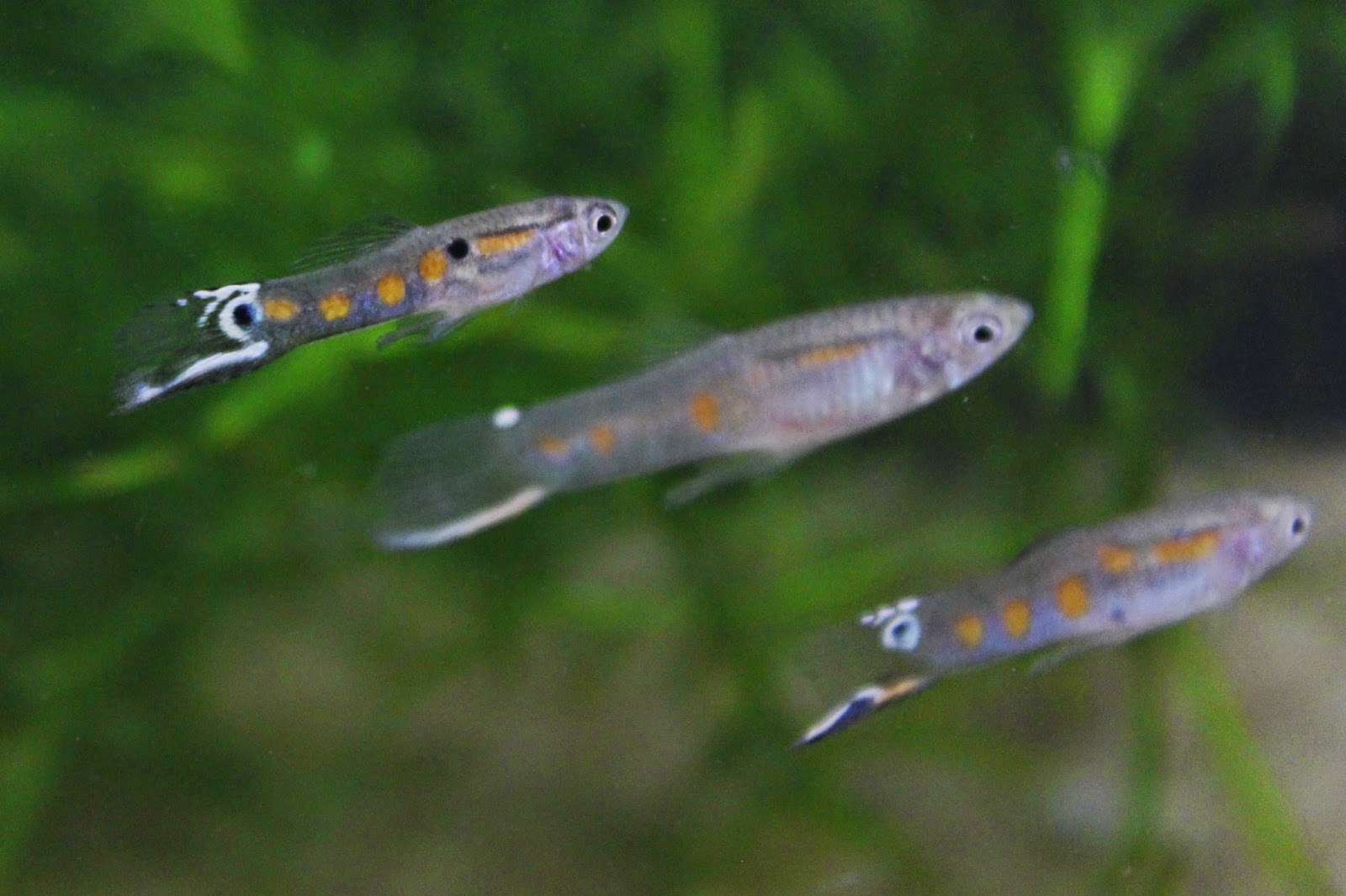 choice of poecillia reticulata The effect of female gravid spot on male guppies (poecilia reticulata) mating choice journal of introductory biology investigations open journal systems journal.