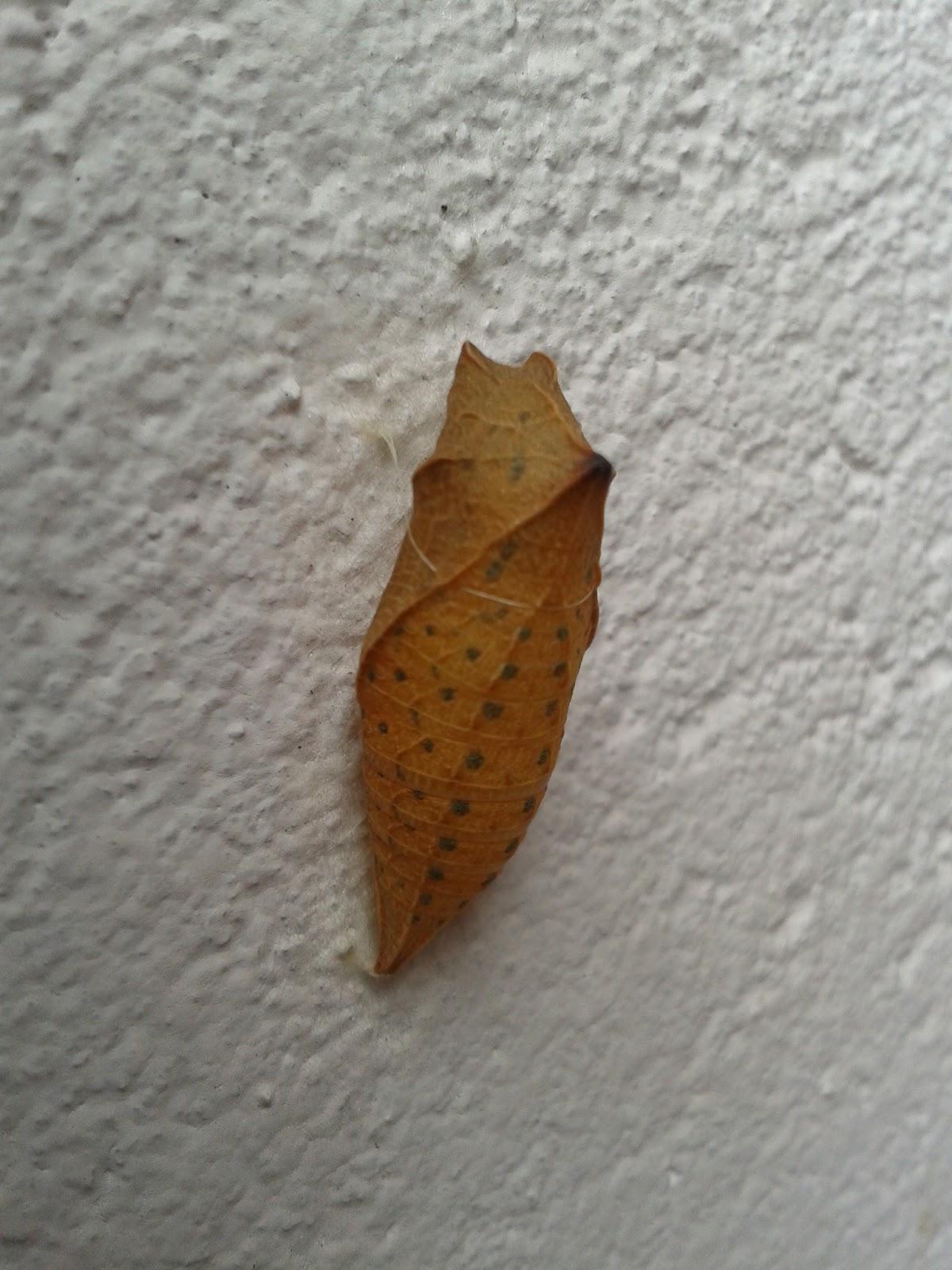 Crisálida bolboreta Iphiclides podalirius