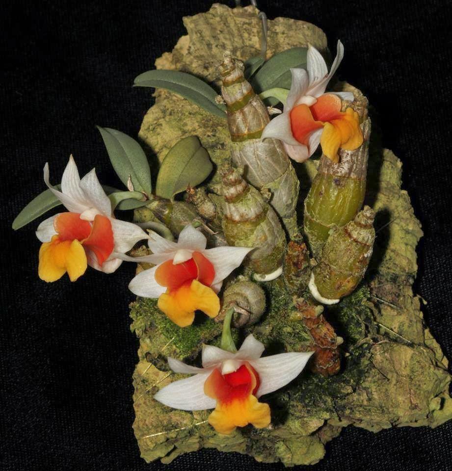 Dendrobium bellatulum Rolfe - Hoàng thảo đốm đỏ , bạch hỏa hoàng -  chơiphonglan