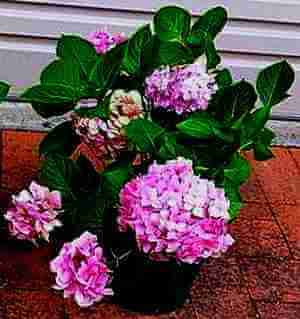 Picture of Hydrangeas propagated by root division