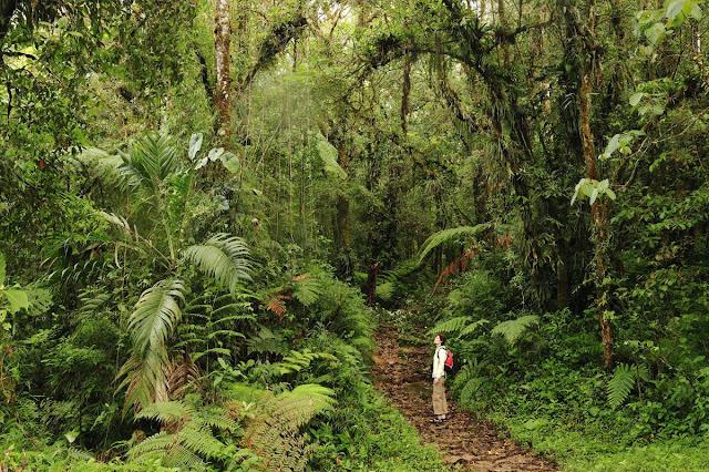 Boquete w Panamie, plantacje kawy