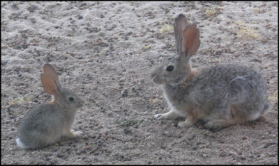 Desert cottontail rabbit,baby,adult,bunny,bunnies