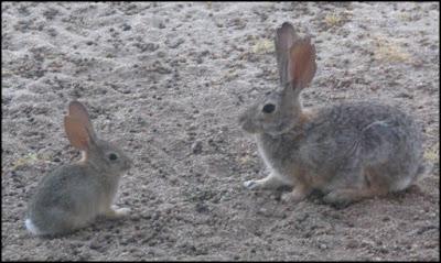 Desert cottontail rabbit,baby,adult,bunny,bunnies