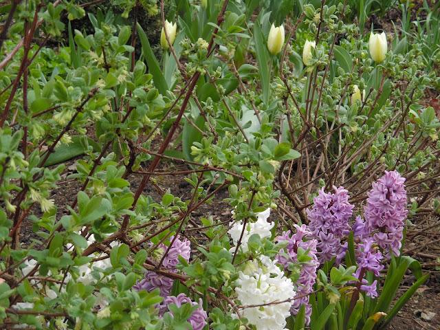 jagoda kamczacka, hiacynty i tulipany