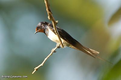 Golondrina común (Hirundo rustica)