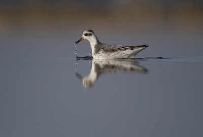 Bhigwan - Sunday with a Phalarope