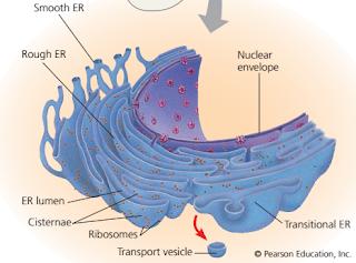 vesikel transport, protein secretory, RE kasar, fungsi retikulum endoplasma kasar