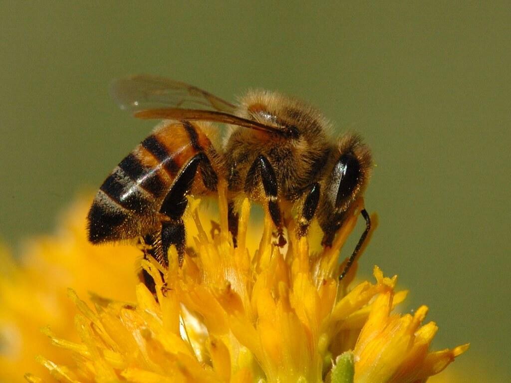 Gambar Lebah mencari madu