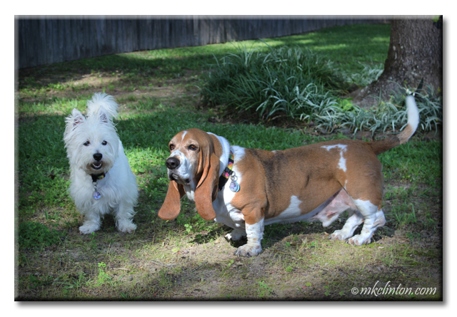 Bentley Basset Hound and Pierre Westie help me stay  young at heart