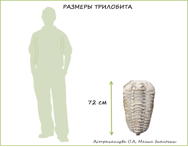 трилобиты-размеры