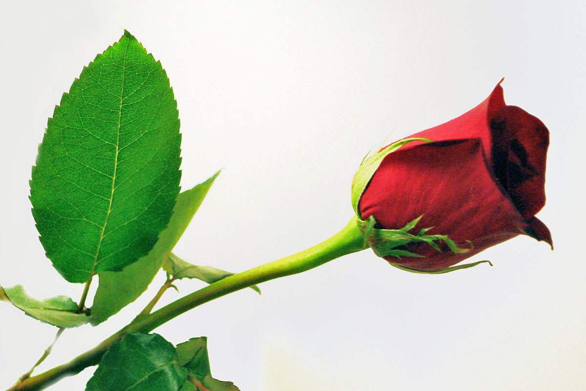 Tennis Players Hd Wallpapers Animals Zoo Park 9 Single Red Rose Wallpapers For Desktop