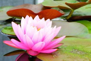 Foto Gambar Bunga Teratai Sedang Mekar_Lotus Flower Picture