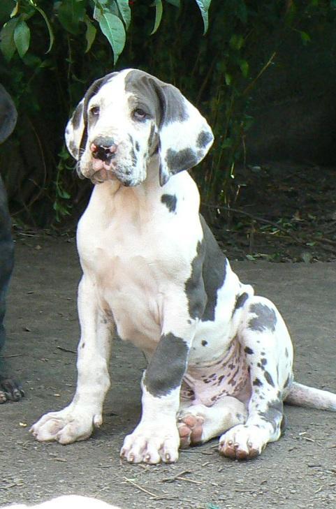Gran Danes Puppies