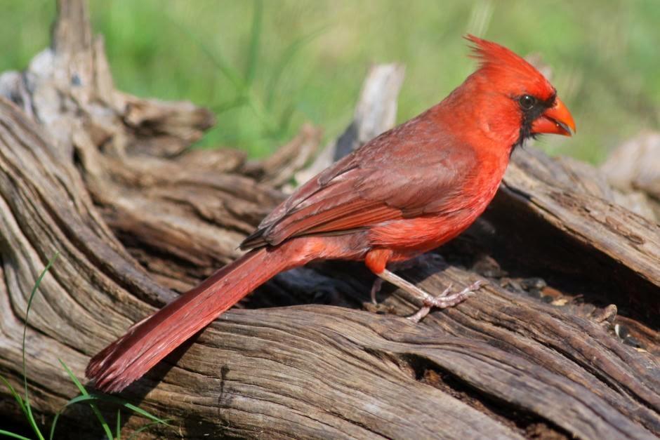 Cardenal norteño, Cardinalis cardinalis