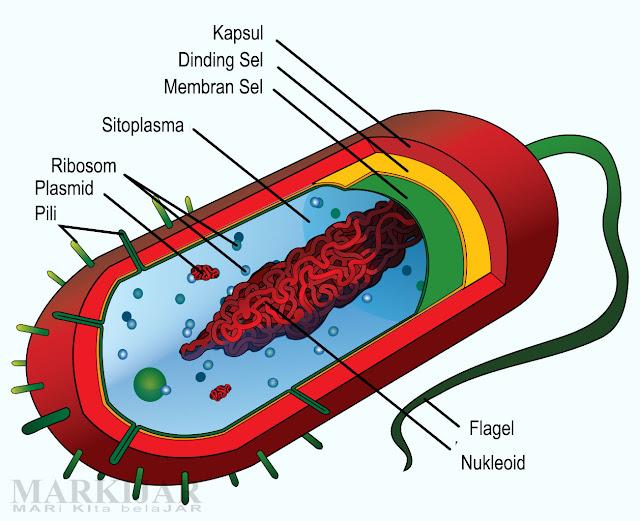 Struktur dan Bentuk Bakteri (Eubacteria)