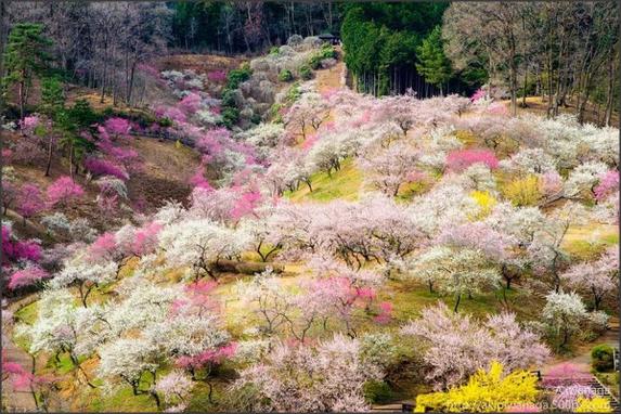 Foto Indahnya Bunga Sakura di Jepang