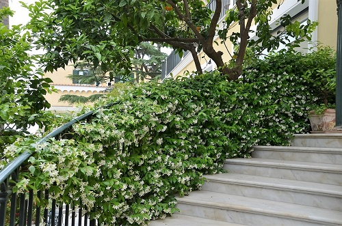 how to grow trachelospermum jasminoides the garden of eaden. Black Bedroom Furniture Sets. Home Design Ideas