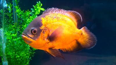 Harga Ikan Oscar Gold