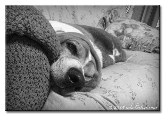 Basset Hound stretched out on sofa