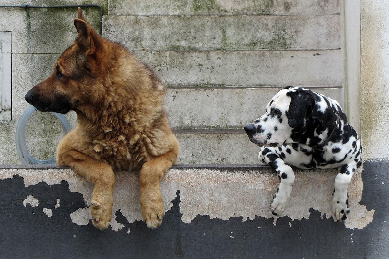 cães a ver passar