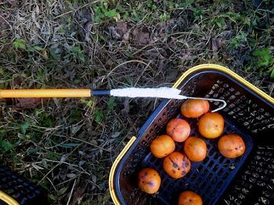 1日目の柿狩り開始