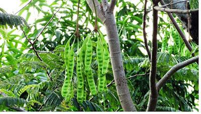 Tumbuhan petai (mimosaceae) - pustakapengetahuan.com