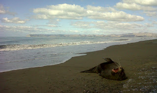A seal lazes on Rarangi Beach, Marlborough, New Zealand.