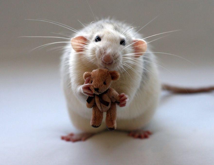cute-pet-rats-3