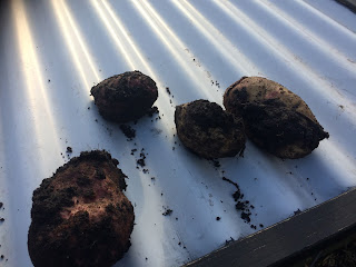 Can you eat forgotten potatoes left in the soil?