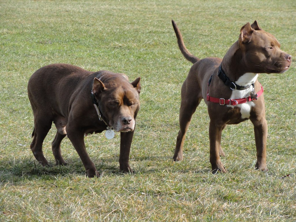 Yet another Pit Bull ban : Doggies.com Dog Blog |Wolf Pitbull Mix
