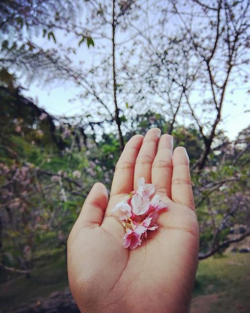 Taman Sakura Ala Jepang Di Kebun Raya Cibodas