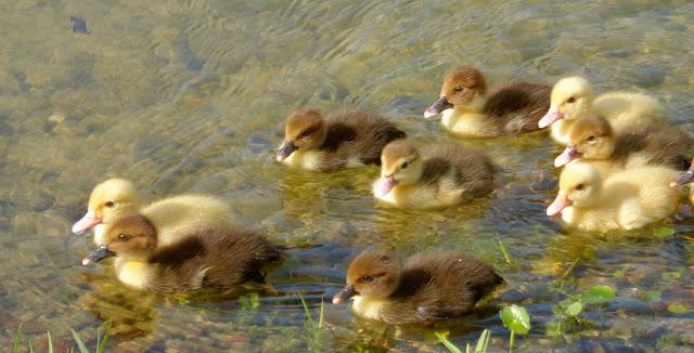 Muscovy chicks swimming